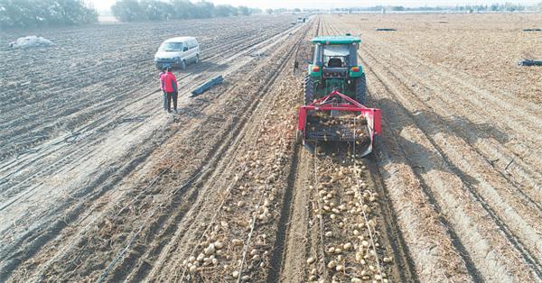 收土豆用上无人驾驶拖拉机